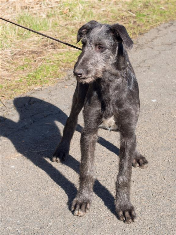 Deerhound puppies 16 weeks-14 (Medium).jpg