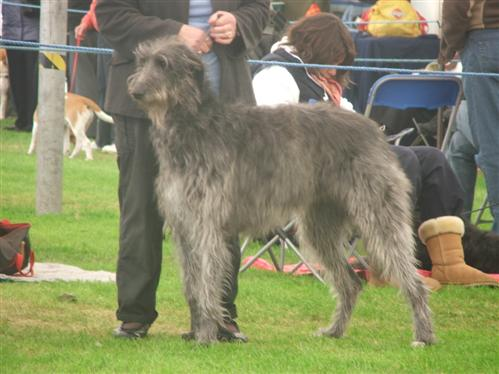 keekee deerhound