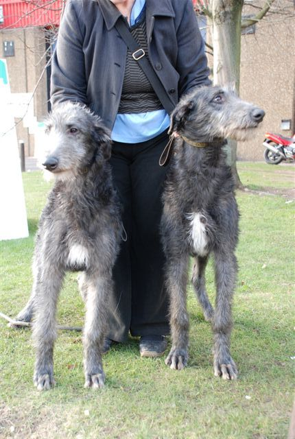 Scottish Deerhound Rashie