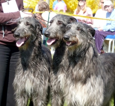 Team Cusidh at the Deerhound Breed Show 2010